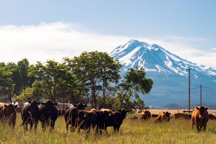 Harlow Cattle Company with Mount Rainier