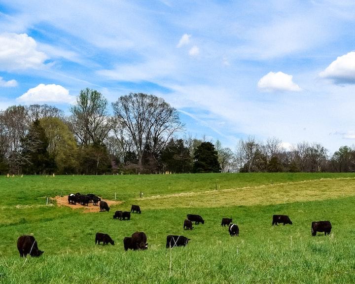 Happy Cows at Crowd Cow