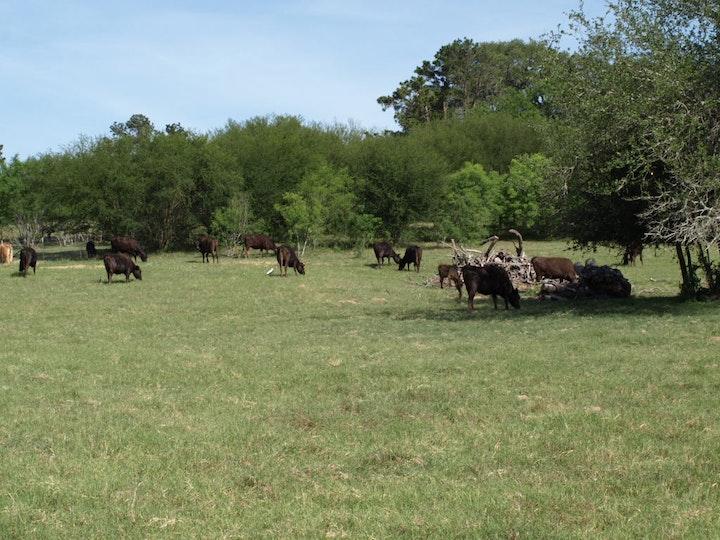 Cattle grazing in the field
