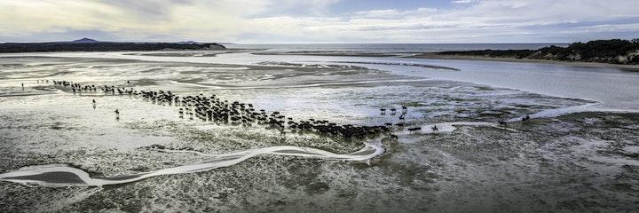 Robbins Island cattle
