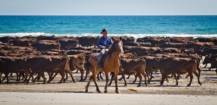 Herding at Robbins Island