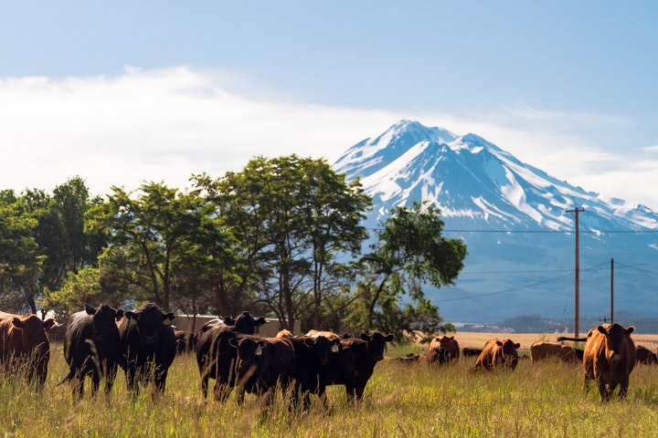 Harlow Cattle Company, cows in the foreground, Mt Rainier in the background