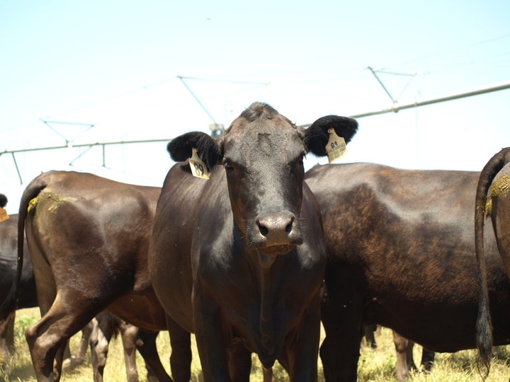 Cattle at Kahlig Ranches